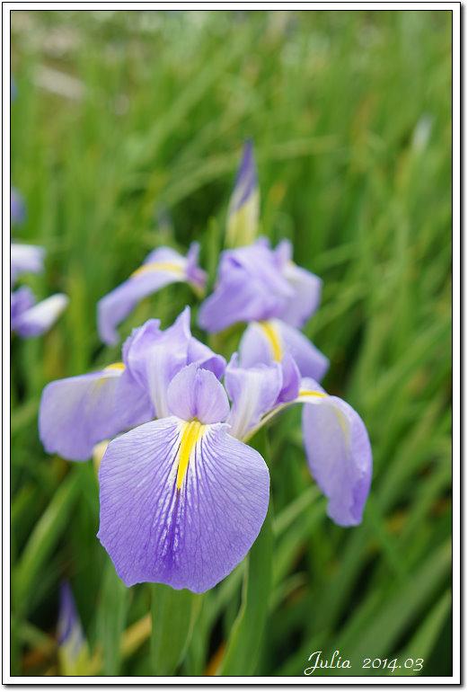 紫藤、老梅 (25)