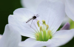Tiny fly on Cuckoo (riggy-riggo) Tags: white flower nature canon woodland insect fly kent spring wildlife cuckooflower deborahrigdenriggyriggo