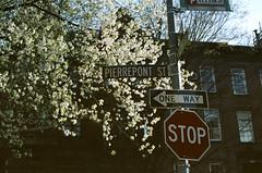 brooklyn heights (Yun-Chen Jenny) Tags: nyc newyorkcity brooklyn cherryblossom     brookklynheights