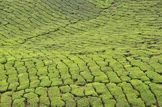 cameron highlands- malaisie 16