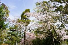 DSC07423 (Ustulo) Tags: japan spring ise iseshi isegrandshrine