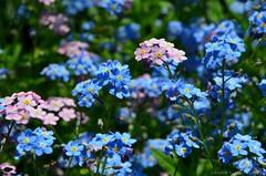 Forget-me-not (Sandra Kirly Pictures) Tags: flowers spring outdoor poland forgetmenot krakw cracow botanicalgarden ogrdbotaniczny