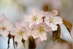 Sakura (tehhyvredina) Tags: flowers macro garden cherry spring blossom bokeh moscow cherryblossom sakura botanicgarden     canonef100mmf28usmmacro    prunussargentii  apothecarygarden  fujifilmxe1