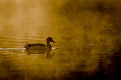 Mallard Duck (Goutam.Krishnamoorthy) Tags: morning arizona mist lake nature duck mallard prescott yavapai lynxlake