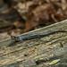 Fourche Mountain Salamander (Plethodon fourchensis)