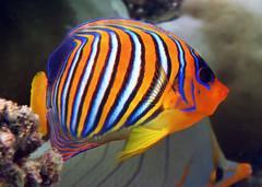 Regal Angelfish (dfinney23) Tags: dfinney23 2016 maldives snorkeling fish regal angelfish underwater