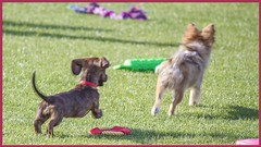 Roxie the Doxie & Cosmo (Sugardxn) Tags: arizona dog green animals photoshop canon puppy frames tucson az run dachshund frame chase cosmo animalplanet roxie dachshunds doxie picswithframes canoneos7d canon7d