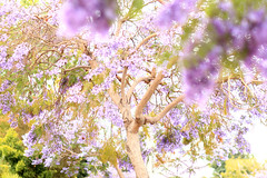 Purple Jacaranda Trees (Mademoiselle Mermaid) Tags: california losangeles purple santamonica jacaranda purpleflowers jacarandas jacarandatree flowerphotography purpletrees jacarandatrees purplefloweringtrees mademoisellemermaid