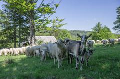 co dla nas macie? (PanMajster) Tags: trip sun mountains weather fun sheep pentax hiking goat curiosity herd gry k5 soce rycerzowa koza stado owca beskid wielka ciekawo