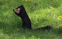 Big Load (jmaxtours) Tags: squirrel mississauga blacksquirrel mississaugaontario bigload