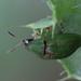 Cassida rubiginosa (Chrysomelidae: Cassidinae) - Distelschildkäfer