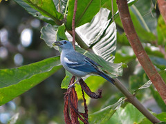 Blue-gray Tanager with caterpillar (swiftranch) Tags: caterpillar amazonian tanager