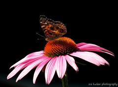 Everyone has a gift for something, even if.... (itucker, thanks for 2.2+ million views!) Tags: macro butterfly echinacea coneflower paintedlady hbm raulstonarboretum americanpaintedlady