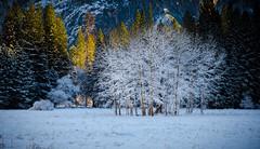 Winter Copse (MissMae) Tags: trees winter light snow yosemite copse