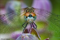 Dragonfly Staring Contest (Daniel Cadieux) Tags: macro garden eyes dragonfly ottawa stare hosta