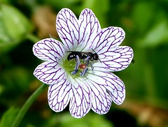 Small Bee in Hardy Geranium (ericy202) Tags: garden norfolk smallbee hardygeranium