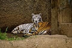 (Edson-Garcia) Tags: wild naturaleza rayas nature animals zoo eyes stripes wildlife tiger tigers felinos animales tigres vidasalvaje