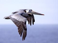 Brown Pelican (K Schneider) Tags: brown pelican occidentalis pelecanus