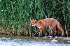 Red Fox 51851 (wildlifetog) Tags: uk red wild nature canon reeds site european martin britishisles britain wildlife reserve fox isleofwight southeast zorro roux blackmore renard ramsar sssi wildlifeeurope renardroux ramsarsite herseynaturereserve eos7dmkii mbiow