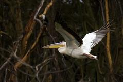 Flying! (starrypix) Tags: africa flying kenya pelikan