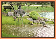 Family Outing  HBM (bigbrowneyez) Tags: geese birds ducks river ottawaontario canada park landscape family trees alberi fume bench hbm benches rocks nature natura pietre sweet adorable fantastic fabulous beautiful bello bellissimo gansos oche water wet acua grass erba wings feathers swim afternoon delightful canadageese ottawariver lovely amazing familyouting dof