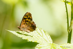 Schmetterling 137 (rgr_944) Tags: macro butterfly tiere natur papillon insekten schmetterling canoneos60dcanoneos70d rgr944