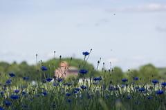 The Silo (Steffe) Tags: summer rural sweden haninge vlsta cornflowers ndestavstergrd