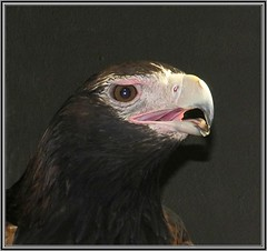 Eagle (Mary Faith.) Tags: eagle
