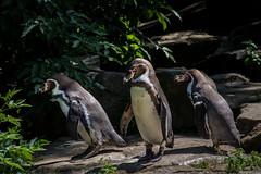Brillenpinguine Zoo Berlin (Berlin-Knipser) Tags: berlin bird germany deutschland zoo penguin african pinguin vogel manchot pingino wasservogel brillenpinguin zoologischergartenberlin