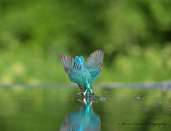 The Perfect Entry ... (Jim Crozier) Tags: diving kingfisher canon70200mmf28 canoneos1dx