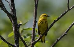 Yellow Warbler, Monchy Woods Road (frank.king2014) Tags: ca canada gander yellowwarbler newfoundlandandlabrador