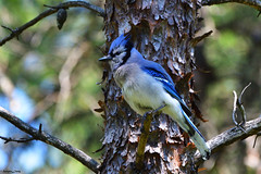 Blue Jay (PhotoCity.CA) Tags: nature birds wildlife ottawa bluejay