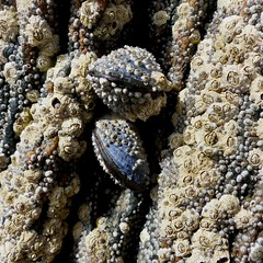 (Edinburgh Nette) Tags: shells limpets rocks rockpools lochinver achmelvic june16