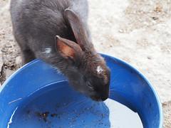 B6250501 (VANILLASKY0607) Tags: rabbit bunny bunnies nature animal japan photo wildlife wildanimal hydrangea rabbits rabbitisland wildrabbit okunoshima