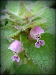 Pink Wildflower in Our Yard... Purple Archangel (lika2009 (in the U.S.A.)) Tags: pink usa march spring nj wildflower 2012 vineland lamiumpurpureum purplearchangel