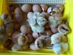 Chicks; (Iridescentmind;) Tags: birds animals chicks animali pulcini