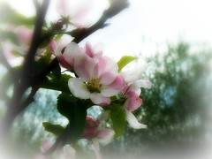 Blossom.  (Spring, A Beautiful time of year) ( Katie ann) Tags: butterflydreams perfectpetals natureiswonderful worldflowers damniwishidtakenthat flickrspictureperfect birthinspring flowersonflickr coloursoftheheart allbeautifulshotsandmanymore coth5 threeheartsaward floralaromas thesunshinegroup madaboutflowers mostbeautifulmacroimages