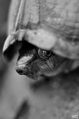 tortoise at morabito art villa (Teo Morabito) Tags: white black turtle tortoise teomorabito