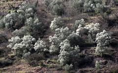 les oliviers (b.four) Tags: olivier olivetree dda alpesmaritimes naturesfinest coth bej abigfave diamondclassphotographer flickrdiamond damniwish ilonse coth5 mygearandme moyennetinée