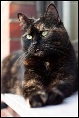 Emma (meyla555) Tags: pet animal cat emma canonef50mmf18 gato katze haustier calicocat tier 2012 glckskatze animaldomstico schildpatt immendorf tortoiseshellcats canoneos50d