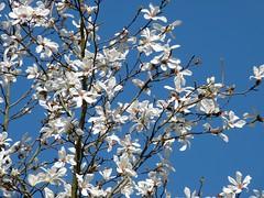 Magnolia kobus DC. 1817 (MAGNOLIACEAE) (helicongus) Tags: magnolia magnoliakobus magnoliaceae jardínbotánicodeiturraran