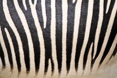 Stripes (kharizmatik) Tags: animal zoo sandiego stripes zebra sandiegozoo zebrastripes