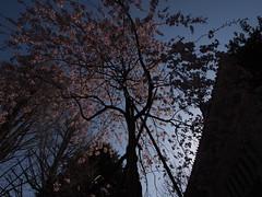芸大付属図書館の桜 (がじゅ) Tags: 桜 空 散歩 上野 epl2
