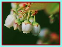 Blueberry Buds (Renee Rendler-Kaplan) Tags: plant fruit garden spring backyard nikon colorful gbrearview framed blossoms spiderweb delicious blueberry april buds delicate blueberries perennial gapersblock 2012 wbez chicagoist petticoats nikond80 reneerendlerkaplan my2012springgarden