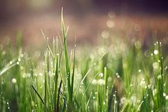 morgentau (~janne) Tags: plant berlin nature water grass 50mm flora wasser f14 misc natur pflanzen olympus gras schlosspark charlottenburg wetzlar tropfen leitz janusz manuell summiluxr e520 ziob