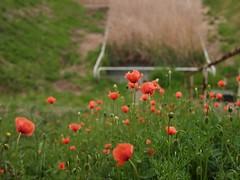 (osanpo_traveller) Tags: leica flower japan pen f14 olympus osanpo yokohama kanagawa 25mm ep2