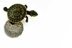 (danielle kiemel) Tags: summer pets money home animals outdoors babies photographer coins australian january australia turtles nsw newsouthwales centralcoast reptiles 2012 frontgarden hatchling 50cents elka babyanimals wamberal 105mmf28 shortneck krefftsriverturtle daniellekiemel emyduramacquariikrefftii freshwaterturtles shortnecked nikond5000