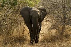 Se viene (Mariano Prez) Tags: africa selva dumbo animales kruger elefante sudafrica trompa colmillos