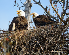 Protective Parents (kdee64) Tags: spring baldeagle may yukon eaglesnest whitehorse haliaeetusleucocephalus northerncanada