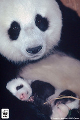 Giant Panda Mother and Cub (World Wildlife Fund) Tags: baby nature animal wildlife mother wwf